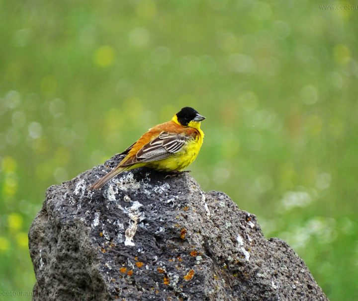 Black-headed-Bunting-SA
