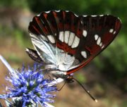 Limenitis-reducta